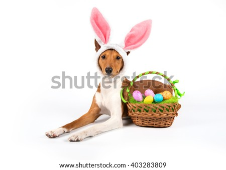 Basenji dog with bunny easter ears,isolated on white background