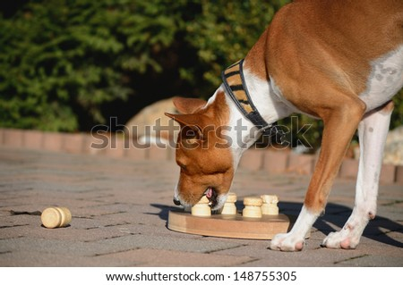 Basenji Dog with educational game - stock photo