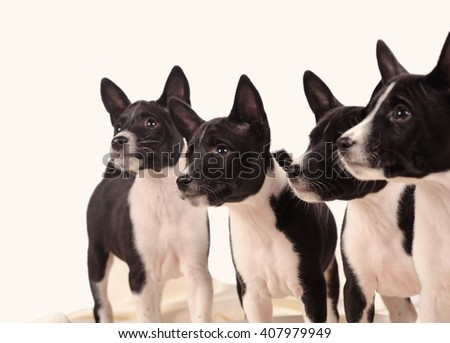 Basenji dogs puppy isolated over white background - stock photo