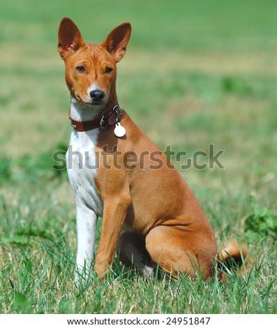 Basenji hunting dog portrait - stock photo