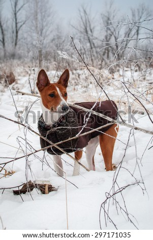 Basenji in the snow. Walk winter forest - stock photo