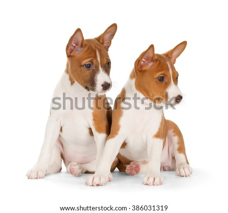 Basenji puppies isolated on white background. Front view, sitting.