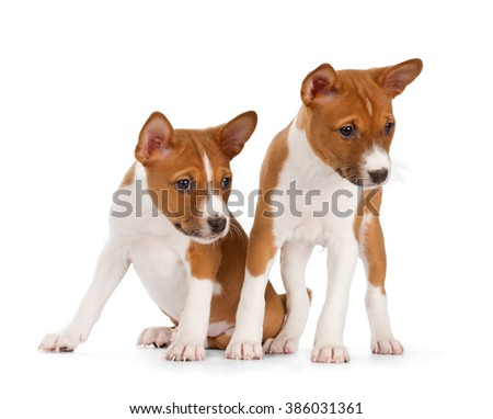 Basenji puppies isolated on white background. Front view, sitting and standing - stock photo