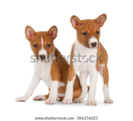 Basenji puppies isolated on white background. Front view, sitting and standing