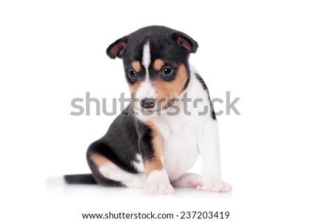 Basenji puppy, isolated on a white background - stock photo