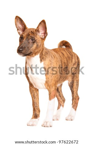 basenji puppy isolated on white background - stock photo