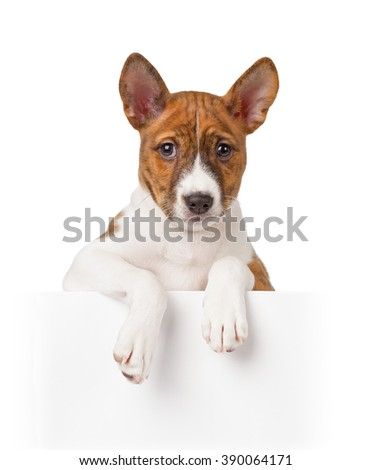 Basenji puppy isolated on white background. Front view - stock photo