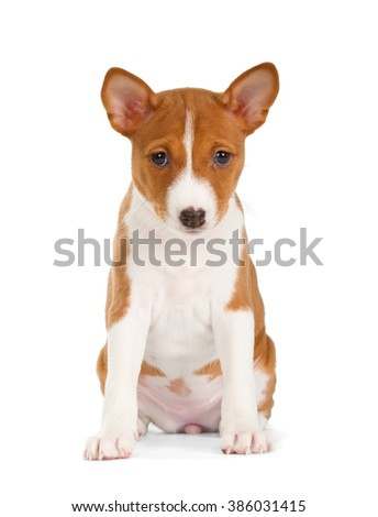Basenji puppy isolated on white background. Front view, sitting.