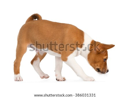Basenji puppy isolated on white background. Side view, sniffing - stock photo