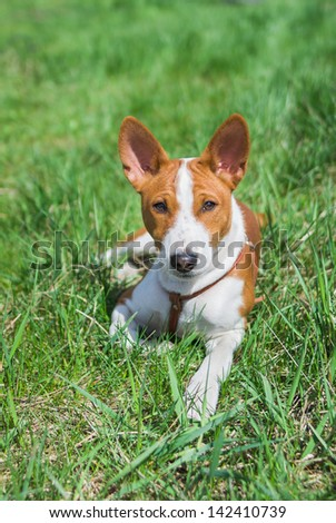 Basenji puppy (5.5 month old) having rest on a grass at sunny day. - stock photo