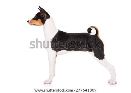 basenji puppy standing side view