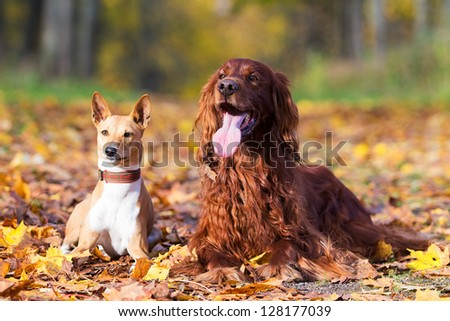 Basenjis and irish setter dogs in autumn park