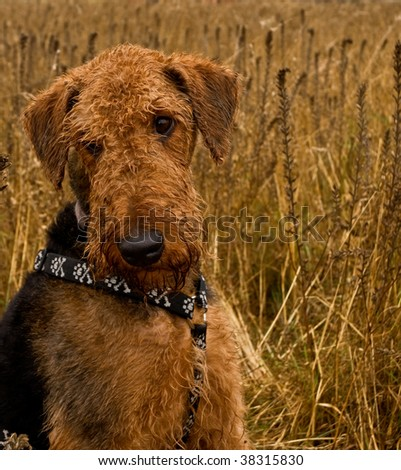 Bashful airedale terrier dog sitting in the middle of a wheat field - stock photo