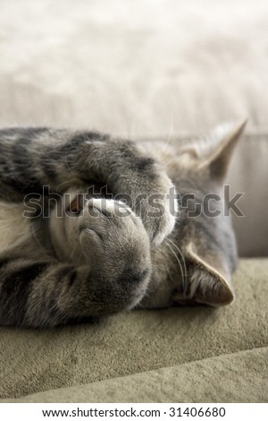 Bashful Gray Cat with Paws over Face - stock photo