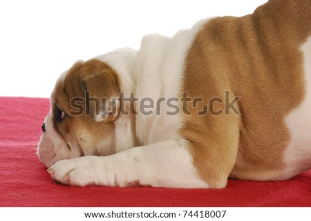 bashful  puppy - english bulldog puppy with paws down and backside up - stock photo