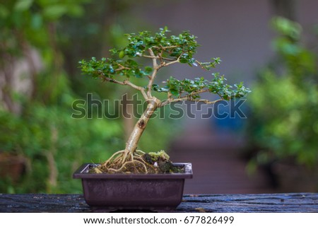 basic bonsai tree
