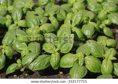Basil after rain in bright sunlight.