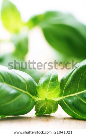 Basil branch on wooden table - stock photo