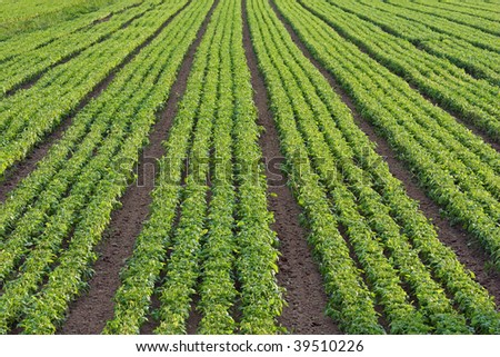 basil cultivated field