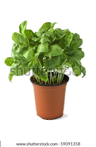 Basil growing in a pot isolated on white background in vertical format - stock photo