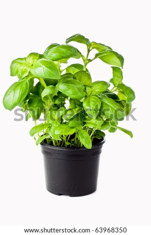 Basil growing in the black pot - isolated - stock photo