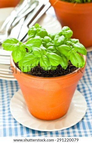 Basil growing  in the kitchen - stock photo