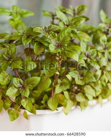 Basil grown in the box at home - stock photo