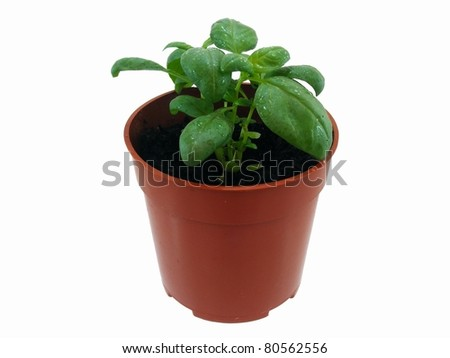 Basil Herb in Plant Pot - stock photo