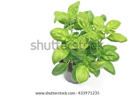 Basil herb in plastic pot isolated o white