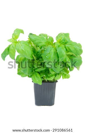 basil in a pot on white background