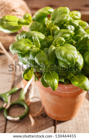 basil in the pot - stock photo