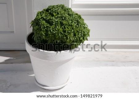 Basil in White Pot - stock photo