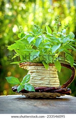 Basil in wicker vase - stock photo