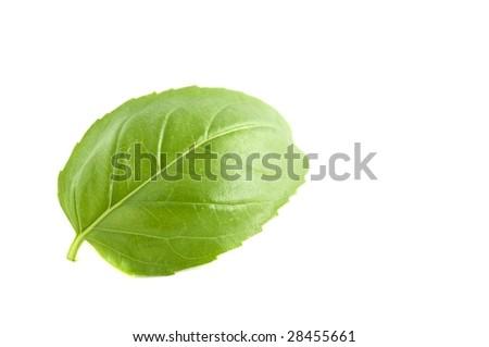 Basil Leaf - Ocimum basilicum - stock photo