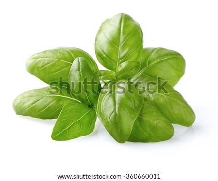 Basil leaves in closeup - stock photo