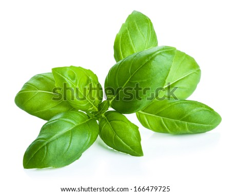 basil leaves isolated - stock photo