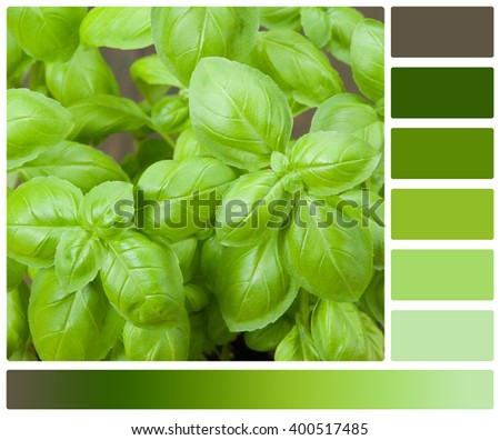 Basil Leaves. Top View. Palette With Complimentary Colour Swatches - stock photo
