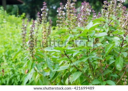 Basil (Ocimum sanctum). Closeup of thai holy basil plants holy basil organic vegetable acreage herb of thailand. - stock photo