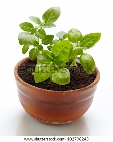 basil plant - stock photo