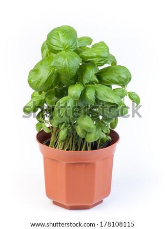 Basil plant in pot - stock photo