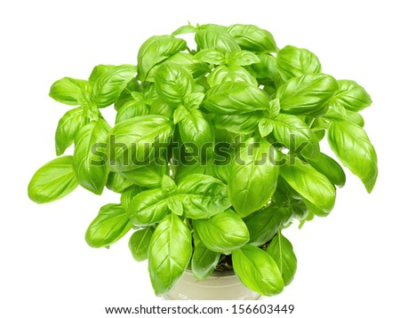 Basil plant on white background - stock photo