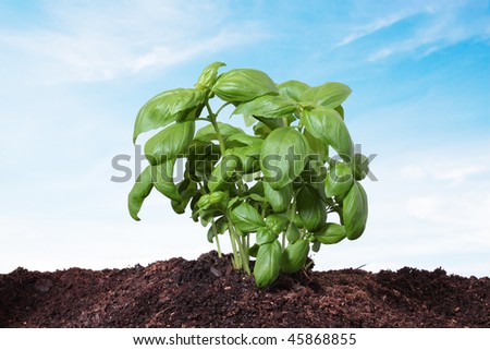basil planted on the earth, isolated on blue background - stock photo