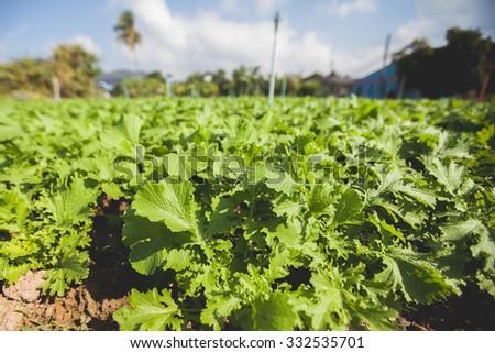 Basil plants at an organic commercial farm - stock photo