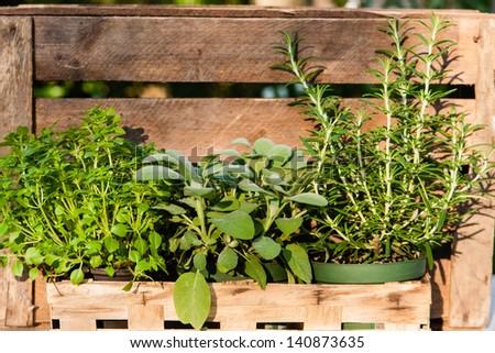 basil, salvia and rosemary - stock photo