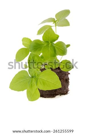 Basil seedling isolated on white background - stock photo