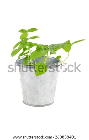 Basil sprouts in metal flower pot isolated on white.  - stock photo