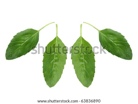 Basil THAILAND A Thai medicinal plant species. Made popular component of many kinds of Thai food. Hairy stems and leaves little , The fragrance to smell fishy. And makes the food taste. - stock photo