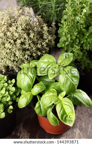 Basil, thyme, rosemary and oregano in flower pots. - stock photo