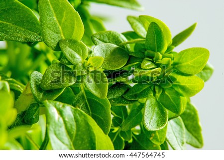 basil with small leaves - stock photo