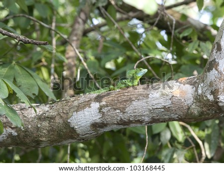 Basilisk lizzard on a branch in the rainforest of Costa Rica. Also  known as Jesus Christ lizzard as it is capable of running across the surface of water - stock photo